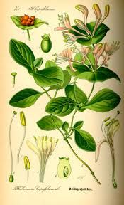 Lonicera_caprifolium más conocida como Madre Selva