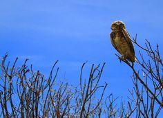 Owl by Odair Faléco