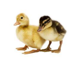 Ducklings :)