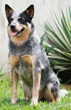 Australian Cattle Dog. AKA Blue Heeler, Queensland Heeler, Australian ...