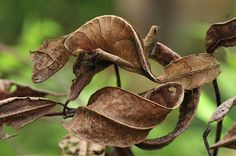 The Satanic Leaf Tailed Gecko