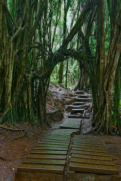 Trail to Manoa Falls one of the wettest places on Oahu, Hawaii.
