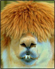 Llama  I just love this! Makes me laugh!