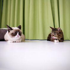2 of Lil Bub (Grumpy Cat and Lil' Bub Chillin!)