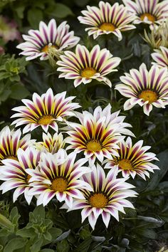 Gazania. I have this variety growing in my yard. They smell wonderful.