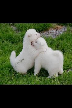 Samoyed puppies... my future pups! :)