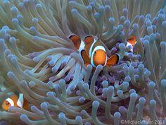 Clownfish in Pemuteran