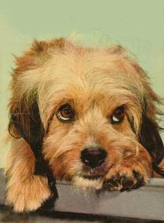 Aww..What an actor this little guy was. Known as Benji in the movies, His real name is Higgins.