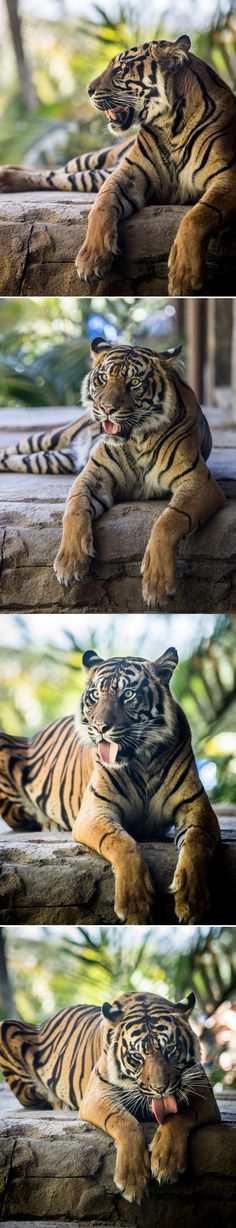 Experience tiger power at San Diego Zoo Safari Park's new #Tiger Trail photos by Robby Ticknor