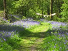 Bluebell wood and owl