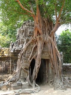Ta Prohm    is the modern name of a temple at Angkor, Siem Reap Province, Cambodia, built in the Bayon style largely in the late 12th and early 13th centuries and originally called Rajavihara *Silk cotton trees grow out of ruin