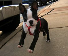 So cute Boston terriers :) this is what our new dog is, mixed with a chihuahua