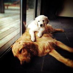 golden retriever mom & pup