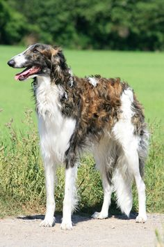 Borzoi - The Borzoi once went by the name Russian Wolfhound and was prized by Russian nobility. The breed descends from the ancient Persian Greyhound (a Saluki ancestor) crossed with native Russian herdsmen's dogs.