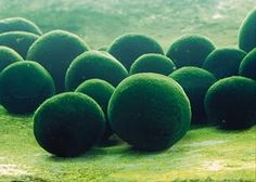 Marimo, a spherical algae that grows only in Lake Akan, Hokkaido, Japan.