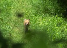 Spotted outside of our showroom, a fox!