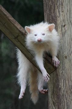 Albino Raccoon just 'hangin out'.. photo by Travis Allan Tanay