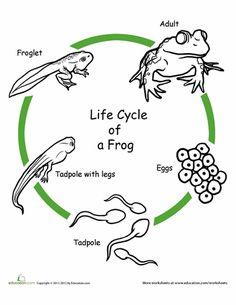 Animal Life Cycles - LiveBinder