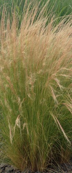 Ornamental Grasses: Update Your Backyard With Just One Plant!