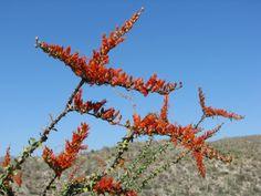Ocotillo-Saguaro National Park East (2)