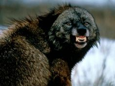 A photograph of a Snarling Wolf.