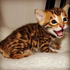 Bengal kitten - I don't really like cats but this one is just too cute!