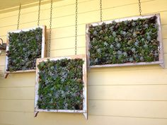 "Can't find a source for this, but one of the sites that's linked says, ""Plant rows of succulents in a frame and hang on the wall outside. Chicken wire with sphagnum and peat moss instead of soil holds plants poked in that grow."""