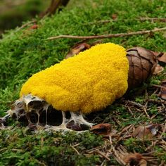 The awesome Dog Vomit slime mold.