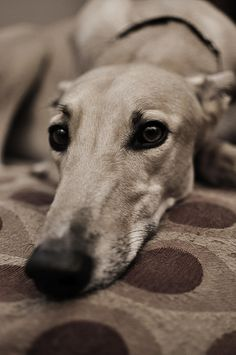 Greyhounds are the kindest of all