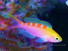 Yellow Spotted Anthias