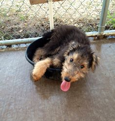 The cutest Airedale puppy ever!!