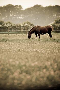 Sepia pasture