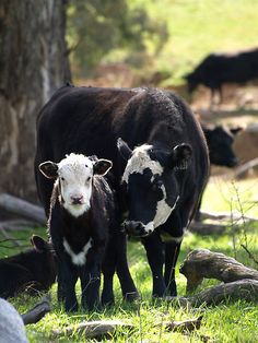 cows and calves, cattle ranching, farm, anim kingdom, mother