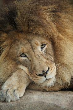 Leão descansando, parece tão calmo!