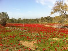 """a sea of lovely flowers called """"Kalaniot"""" in hebrew.  They are all over Israel in the winter months, especially in the Galilee and Judean Hills."""