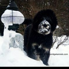 Norman the bernedoodle from Swissridge kennels. bernedoodl, norman, swissridg kennel, mountain dog