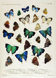 beauti butterfli, vintag printabl, animals, vintage illustrations, butterflies