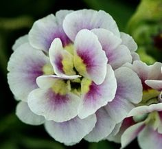 Primula auricula 'Shy Violet'