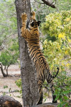 Ranthambore National Park is certainly one of the finest destinations in India - and indeed the whole world, for seeing tigers as well as a wide range of other exotic animals, amidst a setting of completely natural flora and fauna.