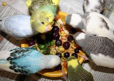 Budgie Parakeet Food and Feeding Recommendations