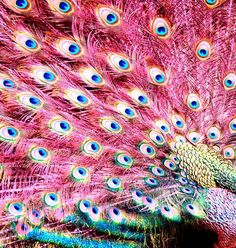 . bird, peacock feathers, pink peacock, pavo real, pattern, blue, pet, art, peacock colors