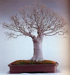 Anciant Bonsai