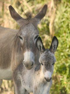 mom  baby donkey