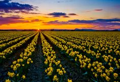 Daffodil Sunset, Skagit Valley