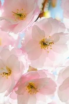 Apple blossoms- ethereal beauty