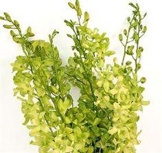 green dendrobiums