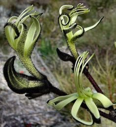 The black kangaroo paw (Macropidia fuliginosa) is one of our most spectacular Australian native plants. Available Aug-Nov for goth weddings, halloween, or general fabulousness.