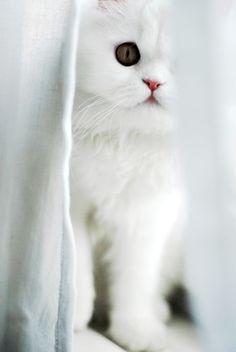 ❖Blanc❖ White kitten Peek - a - boo!