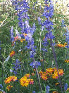Mealy Cup Sage and Lantana-Desert Botanical Garden