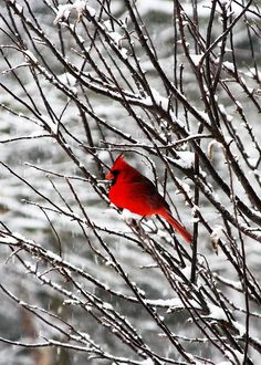 Red Cardinal in Wintertime